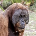 Going Ape: Year 9 Geography - saving species from extinction