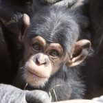 Going Ape: Saving species from extinction